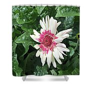 Gerbera Daisy And Bud Shower Curtain