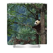 Giant Panda Ailuropoda Melanoleuca Shower Curtain by Cyril Ruoso