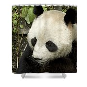 Giant Panda At Rest Shower Curtain