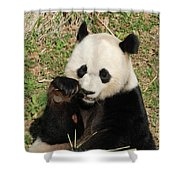 Giant Panda Bear Holding On To Bamboo While Eating Shower Curtain