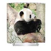 Giant Panda Bear Leaning Against A Tree Trunk Eating Bamboo Shower Curtain