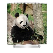 Giant Panda Bear Lounging On Against Tree Trunk Shower Curtain