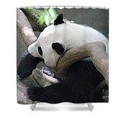 Giant Panda Bear Resting On A Fallen Tree Shower Curtain