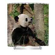 Giant Panda Bear Sitting Up Leaning Against A Tree Shower Curtain