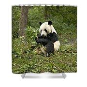 Giant Panda Eating Bamboo Shower Curtain