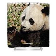Giant Panda Feeding Himself Shoots Of Bamboo  Shower Curtain