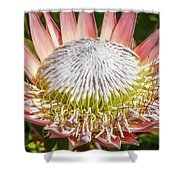 Giant Pink King Protea Flower Shower Curtain