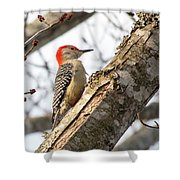 Giant Red Headed Woodpecker  Shower Curtain