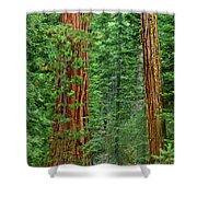 Giant Sequoias Sequoiadendron Gigantium Yosemite Np Ca Shower Curtain