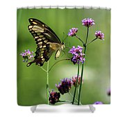 Giant Swallowtail Butterfly On Verbena Shower Curtain