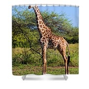 Giraffe On Savanna. Safari In Serengeti Shower Curtain