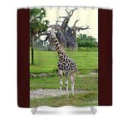 Giraffe With African Baobob Tree Shower Curtain