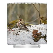 Give Me A Kiss. Redpolls And Greenfinches Shower Curtain