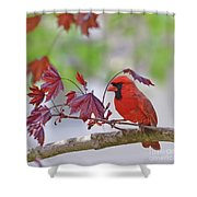 Give Me Shelter - Male Cardinal Shower Curtain by Kerri Farley