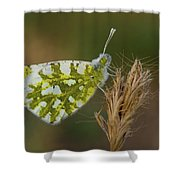 Glanville Fritillary  Shower Curtain