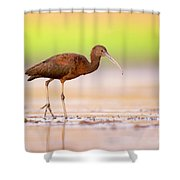 Glossy Ibis Plegadis Falcinellus Shower Curtain