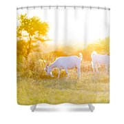 Goats Grazing In Field Shower Curtain