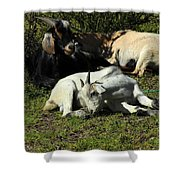 Goats Lying Under A Bush Shower Curtain