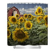 Golden Blooming Sunflowers With Red Barn Shower Curtain