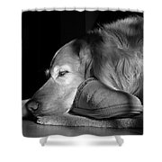 Golden Retriever Dog With Master's Slipper Black And White Shower Curtain
