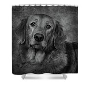 Golden Retriever In Black And White Shower Curtain