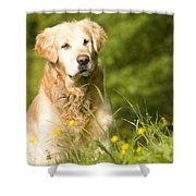 golden Retriever in garden Shower Curtain
