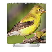 Goldfinch In The Early Morning  Shower Curtain