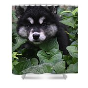 Gorgeous Alusky Puppy Playing Hide And Seek  Shower Curtain