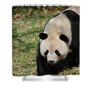 Gorgeous Black And White Giant Panda Bear Walking Shower Curtain