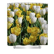 Gorgeous Blooming Field Of White And Yellow Tulips Shower Curtain