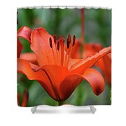 Gorgeous Blooming Orange Lily Flowering In A Garden Shower Curtain
