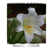 Gorgeous Blooming White Lily With Yellow Pollen On It's Stamen Shower Curtain