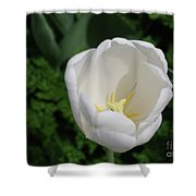Gorgeous Blooming White Tulip Flower Blossom In Spring Shower Curtain