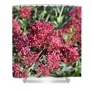 Gorgeous Cluster Of Red Phlox Flowers In A Garden Shower Curtain