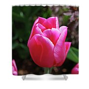 Gorgeous Dark Pink Tulip Blooming In A Garden Shower Curtain
