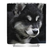 Gorgeous Eight Week Old Alusky Puppy Dog Shower Curtain