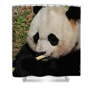 Gorgeous Face Of A Giant Panda Bear With Bamboo Shower Curtain