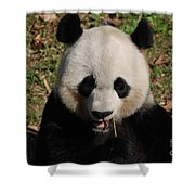 Gorgeous Face Of A Panda Bear Eating Bamboo Shower Curtain