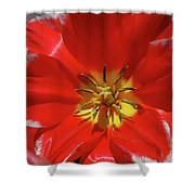 Gorgeous Flowering Red Tulip With A Yellow Center Shower Curtain