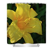 Gorgeous Flowering Yellow Daylily Blooming In A Garden Shower Curtain