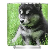 Gorgeous Fluffy Black And White Husky Puppy In Grass Shower Curtain