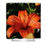 Gorgeous Pretty Orange Lily Flower Blooming In A Garden Shower Curtain