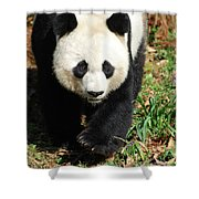 Gorgeous Sweet Giant Panda Bear Ambling Along Shower Curtain