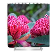 Gorgeous Waratah -floral Emblem Of New South Wales Shower Curtain