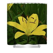 Gorgeous Yellow Lily Growing In Nature Up Close Shower Curtain