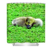Gosling Taking A Nap Shower Curtain