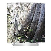 Grandfather Cypress Shower Curtain