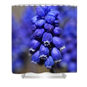 Grape Hyacinth - Muscari Shower Curtain