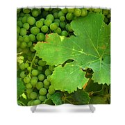 Grape Vine Heavy With Green Grapes Shower Curtain
