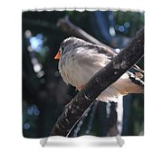 Gray Crowned Rosy Finch   Shower Curtain